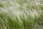 Feather-grass in a steppe — Stock Photo
