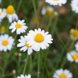 Stock Photo: White camomiles on meadow