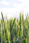 A wheat — Stock Photo