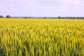 A wheat — Stock Photo