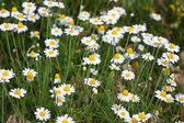 White camomiles on a meadow — Stock Photo