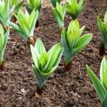 ������, ������: Garlic plant