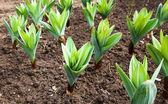 Garlic plant — Stock Photo
