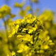Rape flower - Stock Photo