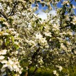 Blossoming apple-tree — Stock Photo #10505483