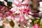 Tree flowering — Stock Photo