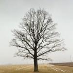Tree (winter) — Stock Photo