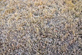 Grass in hoarfrost — Stock Photo