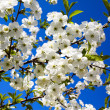 Apple-tree flowering — Stock Photo
