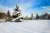 Fir forest — Stock Photo