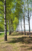 Spring birches — Stock Photo