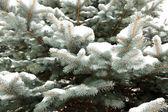 Spar-boom in sneeuw — Stockfoto