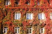 Ivy on a building — Stock Photo