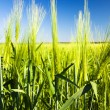 Ripening barley — Stock Photo