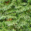 Stock Photo: Evergreen thuja.