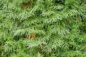 Evergreen mazı. — Stok fotoğraf