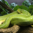 Green Tree Python — Stock Photo #10719876