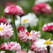 Daisy flowers — Stock Photo #10143806
