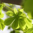 Stock Photo: Chestnut leaves
