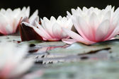 White lotuses — Stock Photo