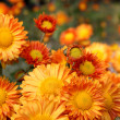Foto de Stock  : Orange chrysanthemum flowers
