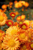 Orange chrysanthemum flowers — ストック写真