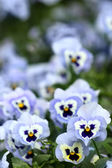 Blue pansy flowers — Stock Photo