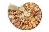 Ancient ammonite — 图库照片