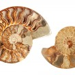 Foto de Stock  : Two ammonites