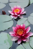 Pink lotus flowers — Stock Photo