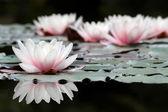 Bílý lotos květiny — Stock fotografie