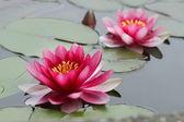 цветы лотоса — Стоковое фото