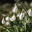 Stock Photo: Snowdrops blossoming