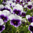 Pansy flowers background — Stockfoto #9095717
