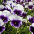 Stock Photo: Pansy flowers background