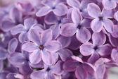 Fiori di lillà — Foto Stock