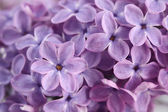 Lila blüten — Stockfoto