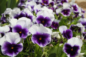 Pansy flowers background — Stock Photo