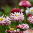 Daisy flowers — Stock Photo #9376962