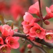 Stock Photo: Japanese Quince