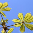 Chestnut leaves — Foto de Stock