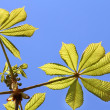 Chestnut leaves — Stock fotografie