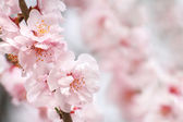 Peach flowers — Stock Photo