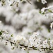 Spring blossoming — Stock Photo #9467644