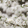Stock Photo: Spring blossoming