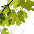 Maple leaves — Stock Photo #9467663