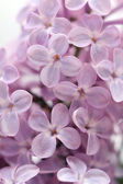 Lilac close-up — Stock Photo