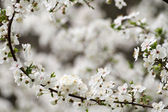 Spring blossoming — Stock Photo