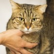 Female hands caressing big adult cat — Stock Photo