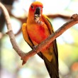 sun conure parrot — Stock Photo